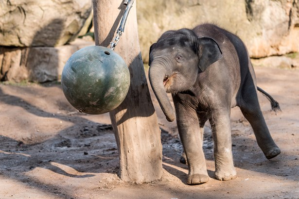 Popis: Slon indický Max je vůbec první slůnětem, které v pražské zoo nejen přišlo na svět, ale také zde bylo počato.