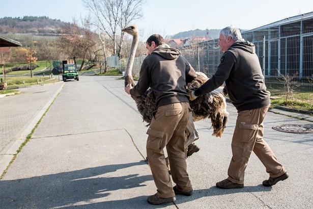 Popis: Do Africké savany v horní části zoo byli vpuštěni například také pštrosi dvouprstí.
