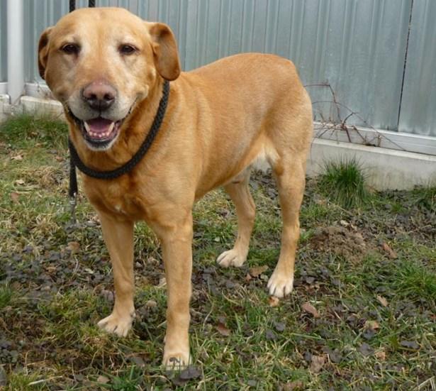 Popis: Pumr, kříženec labradora, stáři 3-5 let, klidný a pohodový parťák.