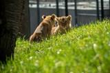 Lvíčata mají jména. Pravidelně budou chodit do velkého výběhu
