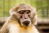 Nový druh primáta v Zoo Ostrava – vzácný mangabej žlutobřichý
