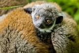 Mládě lemura mongoze v Zoo Ostrava prospívá