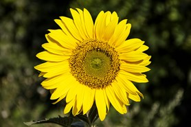 Sázení slunečnic upozorní na roztroušenou sklerózu