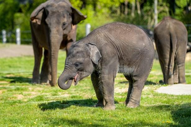 Popis: Mládě slona indického Rudi si užívá travnatý výběh v Údolí slonů.