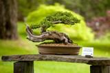 Unikátní výstava bonsají na pozadí rozkvetlé Japonské zahrady