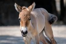V Zoo Praha se narodilo další hříbě vzácného koně převalského