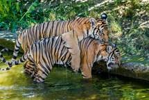 Bulan už váží téměř 60 kilo. Tygří dvojčata teď s oblibou řádí ve vodě