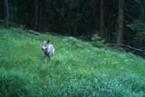 Vlk zapózoval před fotopastí