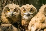 Tři mladí výři ze Zoo Ostrava byli vypuštěni do přírody