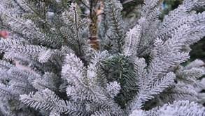 Na otrokovické náměstí se vrátí prodej vánočních stromků