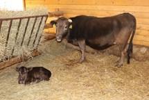 Mládě nejmenšího plemene skotu v ostravské Zoo
