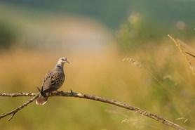 Ptákem roku se stala hrdlička divoká