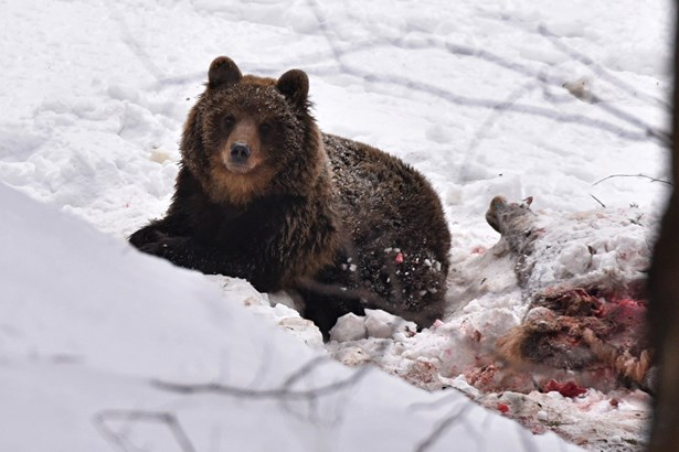 Popis: Medvěd na konci ledna 2019.