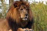 Záznamy z kamer i pitva potvrdily, že chovatele usmrtil lev