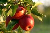 Získejte grant na výsadbu jabloní a osvěžte Brno jablky