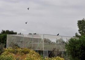 Novinky o vzácných ibisech skalních