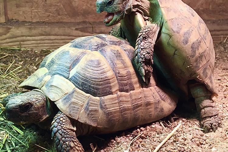 Se sexem nečekají želvy zelenavé v ZOO Tábor až do jara