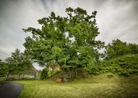 Vyberte Strom roku České republiky. I díky vašemu hlasu vyrostou nové stromy