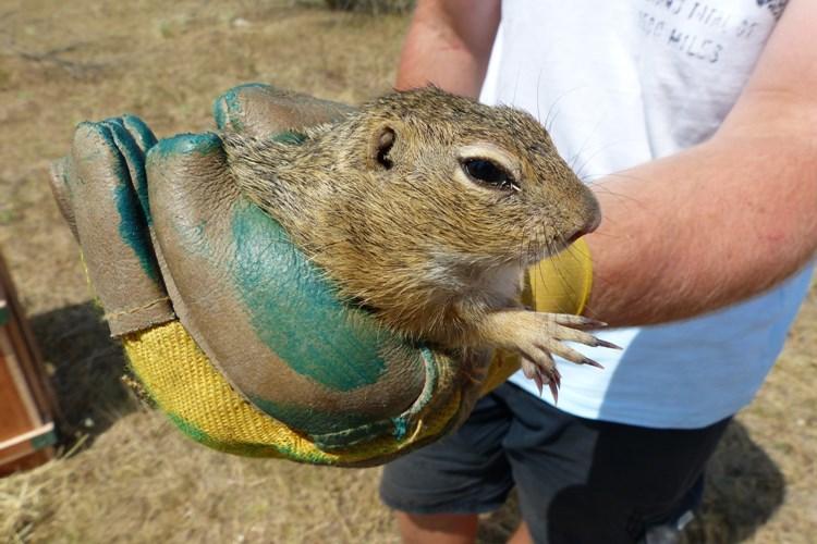Zvířata z Brna zachraňují populaci syslů na Břeclavsku
