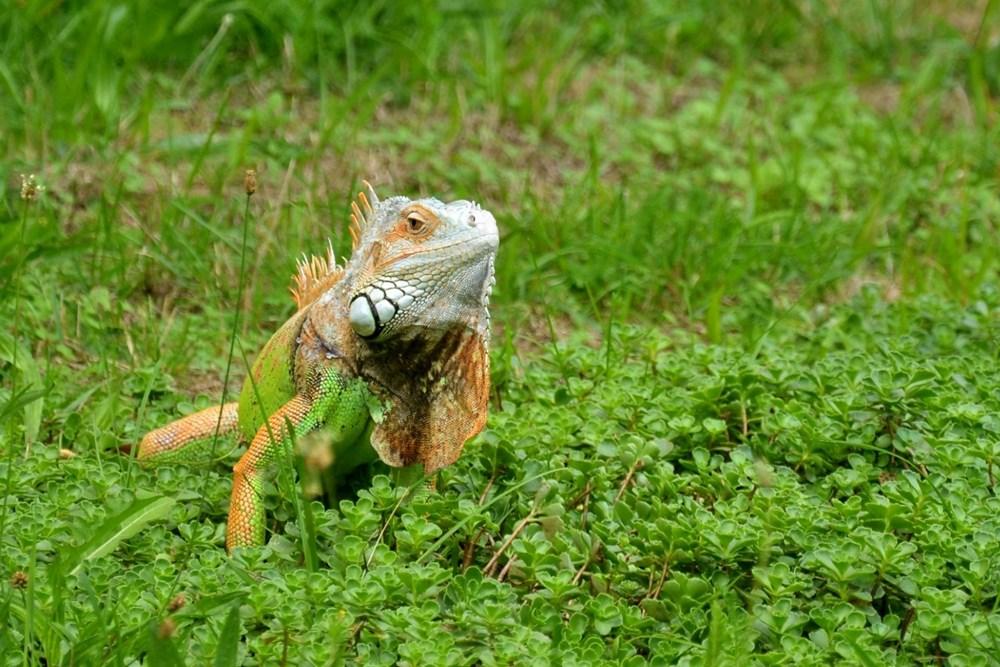Popis: Hasiči v Ostravě chytali leguána, neobvyklé zvíře přitahovalo pozornost okolí.