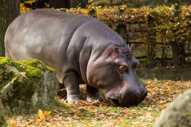 Popis: Hroch obojživelný (Hippopotamus amphibius).